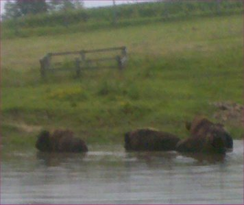 buffalo bathing at Jester Park