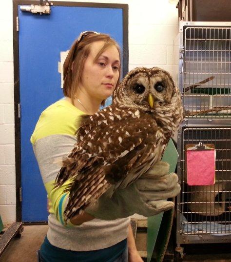 Kali, a barred owl