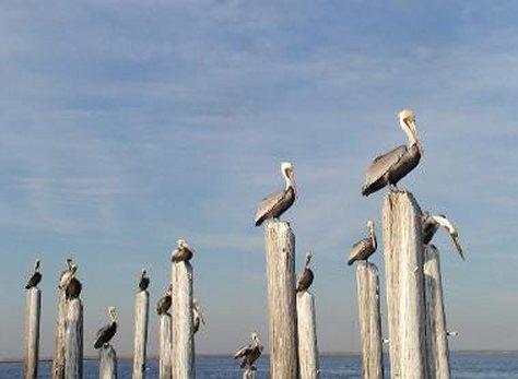 pelicansonposts